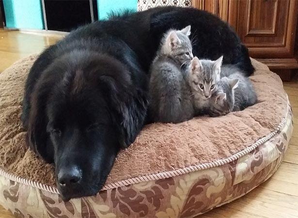 newfoundland с кошкой